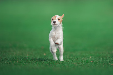 cute parson russel terrier puppy running through the green meadow