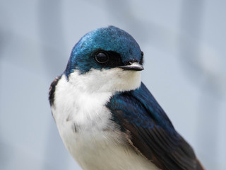 canadian tree swallow perched in tree