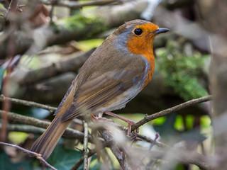 European robin (Erithacus rubecula) perched on a twig.