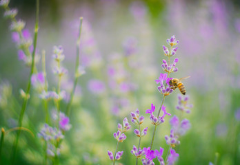 Bee on a lavender flower petal