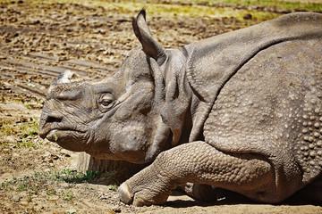 Portrait of Rhinoceros
