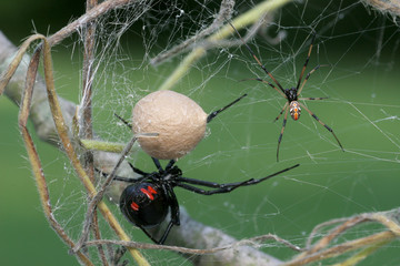 Black Widow Spider Family - Female, Male, Egg sac