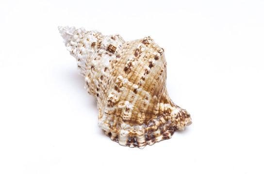 Seashell isolated on the white background.