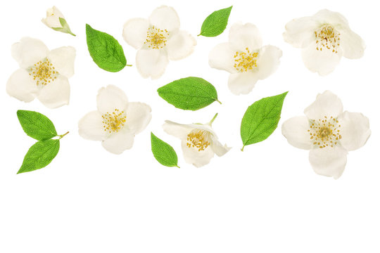 jasmine flower decorated with green leaves isolated on white background closeup with copy space for your text