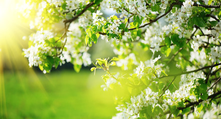 Klistermärke - Spring blossom background. Nature scene with blooming tree and sun flare. Spring flowers. Beautiful orchard