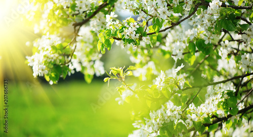 Wall mural Spring blossom background. Nature scene with blooming tree and sun flare. Spring flowers. Beautiful orchard