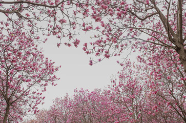 Magnolia flowers and buds on beautiful background