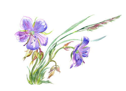 Forest geranium, watercolor drawing on white background, isolated.