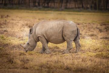 Kenya Africa. Rhinoceros eating grass African rhinoceroses. Safa