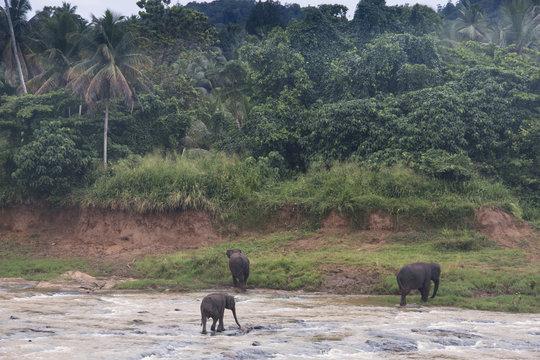 Elephants in an orphenage in Sri Lanka.