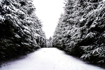 Winter Storm Forest