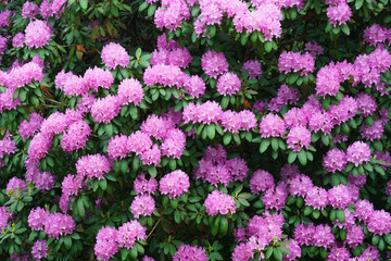 Wall Mural - pink Rhododendron blooming in spring