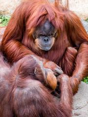 Close portrait of Sumatran orangutan