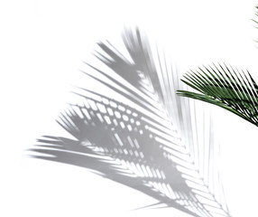 Palm coconut leaves and shadows on a white background.
