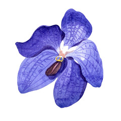 Blue orchid. Floral botanical flower. Wild spring leaf wildflower isolated. Aquarelle wildflower for background, texture, wrapper pattern, frame or border.