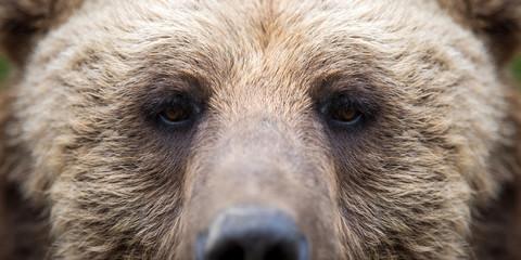 Closeup of the eye of a bear