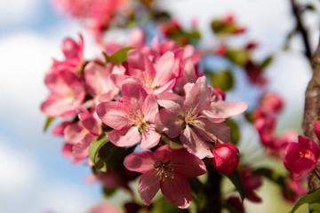 Spring blossom flowers on apple tree