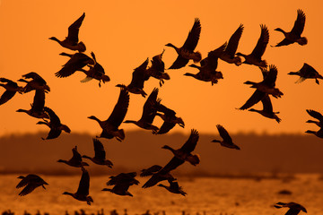 Flock of migrating Geese flying over natural background