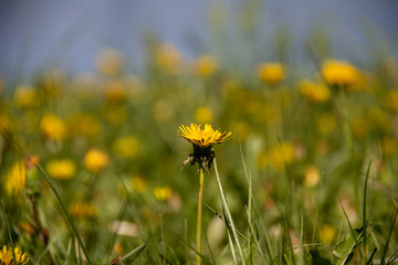 Single yellow dandelion on the background of a meadow with many dandelions closeup