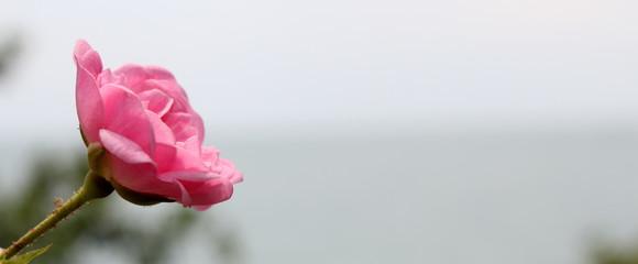 красивый цветок розовой цветущей розы на размытом фоне