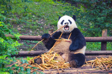 Giant Panda eating bamboo lying down on wood in Chengdu during day , Sichuan Province, China