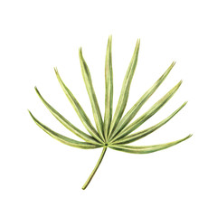 Hand drawing, sketch of single fan palm leaf