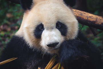 Fotorollo Pandas One adult giant panda eating a bamboo stick in close up portrait during day