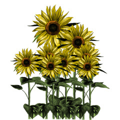 overgrown sunflowers on white background, sketch vector graphic color illustration