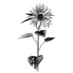 sunflower flower with stem and leaves on white background, sketch vector graphics monochrome illustration
