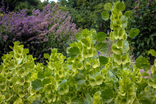 Moluccella laevis plant in garden commonly called Bells of Ireland, Molucca balmis or Shellflower