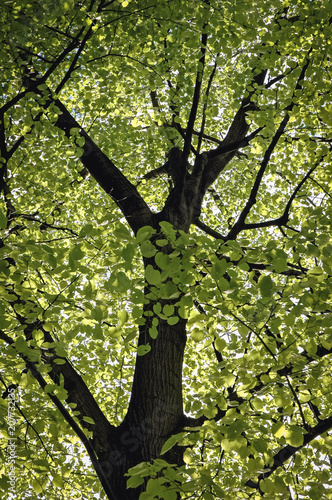 Close Up On A Tilia Americana Tree Commonly Known As American Linden Variety Called