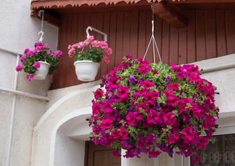 Petunia Flowers at the Balcony