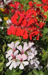 Géranium lierre rouge et blanc