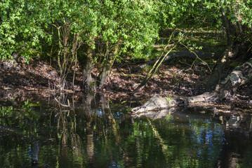 Crocodile Log In Water