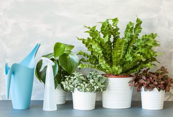 houseplants Asplenium nidus, peperomia and fittonia in flowerpots