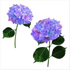 Vector set of hydrangea flowers in watercolor style