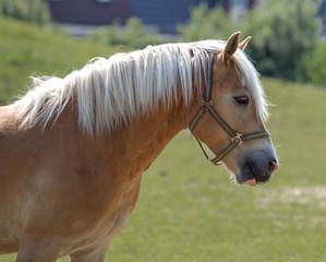 Norwegian horse