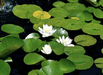 White water lilies background