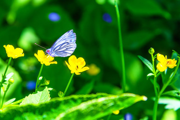 Blue butterfly on a yellow forest flower close-up