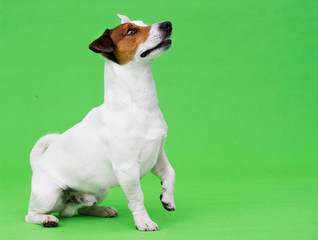 Jack Russel Terrier dog looking at a green background