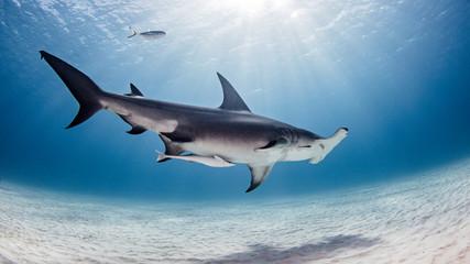 Underwater view of great hammerhead shark, Alice Town, Bimini, Bahamas