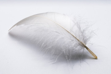Goose feather on white table