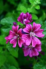 Bluma lila