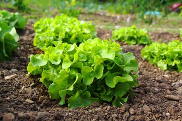 Salat auf dem Feld