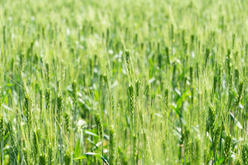Young wheat spike on a rich green background
