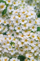 Photo sur Aluminium Macro A shot of the white blossom of a spiraea bush