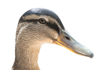 Portrait of female Mallard duck head, anas platyrhynchos. Close up detail, side view, l isolated on white background. Natural sunlight.