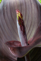 Close view of red cana lily leaves and flower bud, vertical aspect