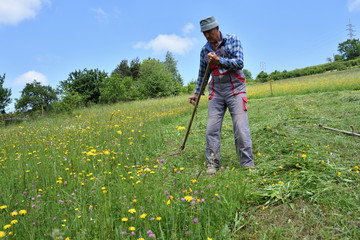 mowing the grass in the village traditional way with scythe