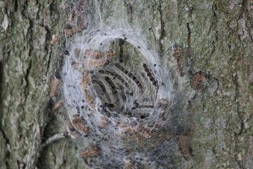 Oak processionary in tree in Nieuwerkerk aan den IJssel, known for their reaction at humans caused by this moth